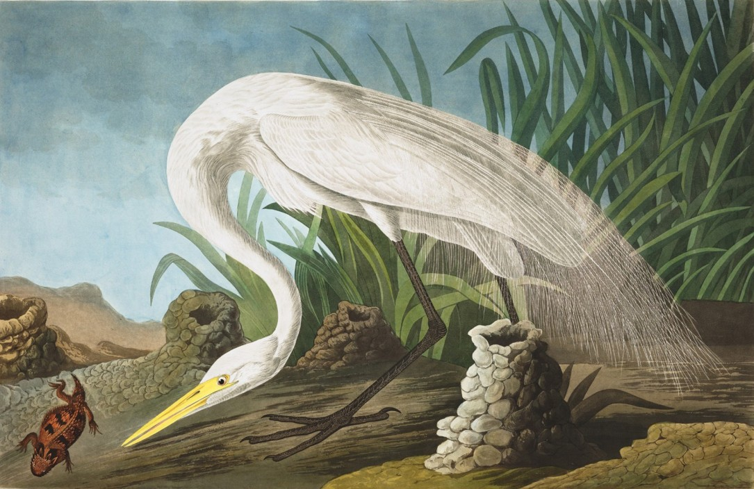 John James Audubon, White Heron, 1837