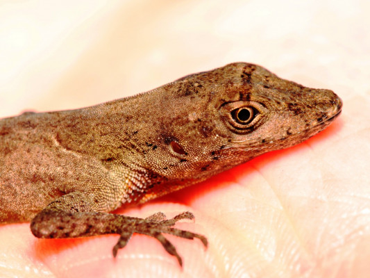 A species of anole
