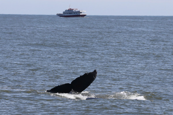 Fluke (tail) of the young humpback