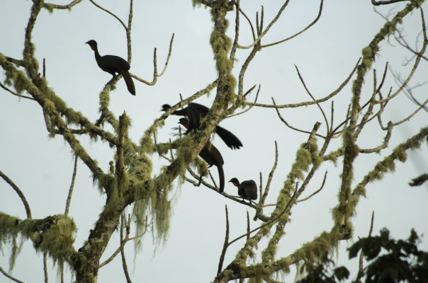 Crested guans.