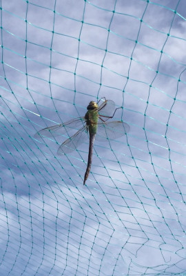 A dragonfly inside the bird netting.