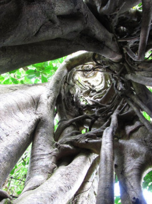 Looking up through a strangler fig whose host had died and decomposed away (Costa Rica; photo by Regan Dohm)