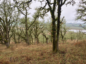Oregon white oak woodlands in Basket Slough National Wildlife Refuge (Spring 2019).