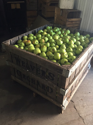A crate of recently harvested apples to be washed.