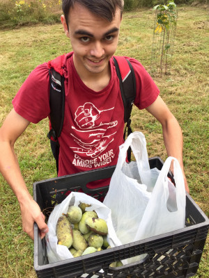 Harvesting pawpaws at a local orchard.
