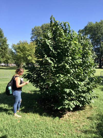 Amanda White inspects an American hazel shrub during a trip to Woodford Mansion to learn about co...