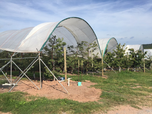 High tower tunnels to protect cherry trees from heavy summer rains.