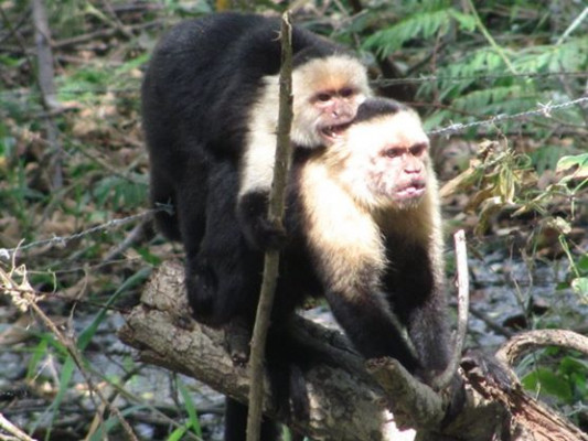 Two white-headed capuchins threat display at the group by standing on each other to look bigger and more ferocious (Costa Rica; photo by Regan Dohm)