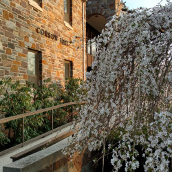 A Weeping Cherry blooms outside of Corson Hall.