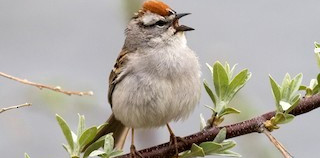 The chipping sparrow can be seen on the Ursinus campus.