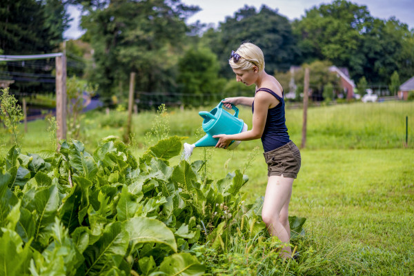 Jess Greenburg watering horseradish, one of our perennial crops.
