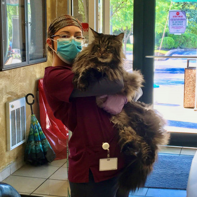 Biology major, Elisabeth Winter '21 is shown working with a Maine Coon during her summer intern...